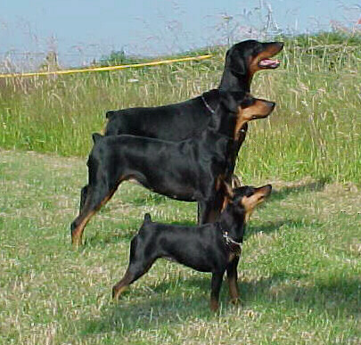 About the Miniature Pinscher
